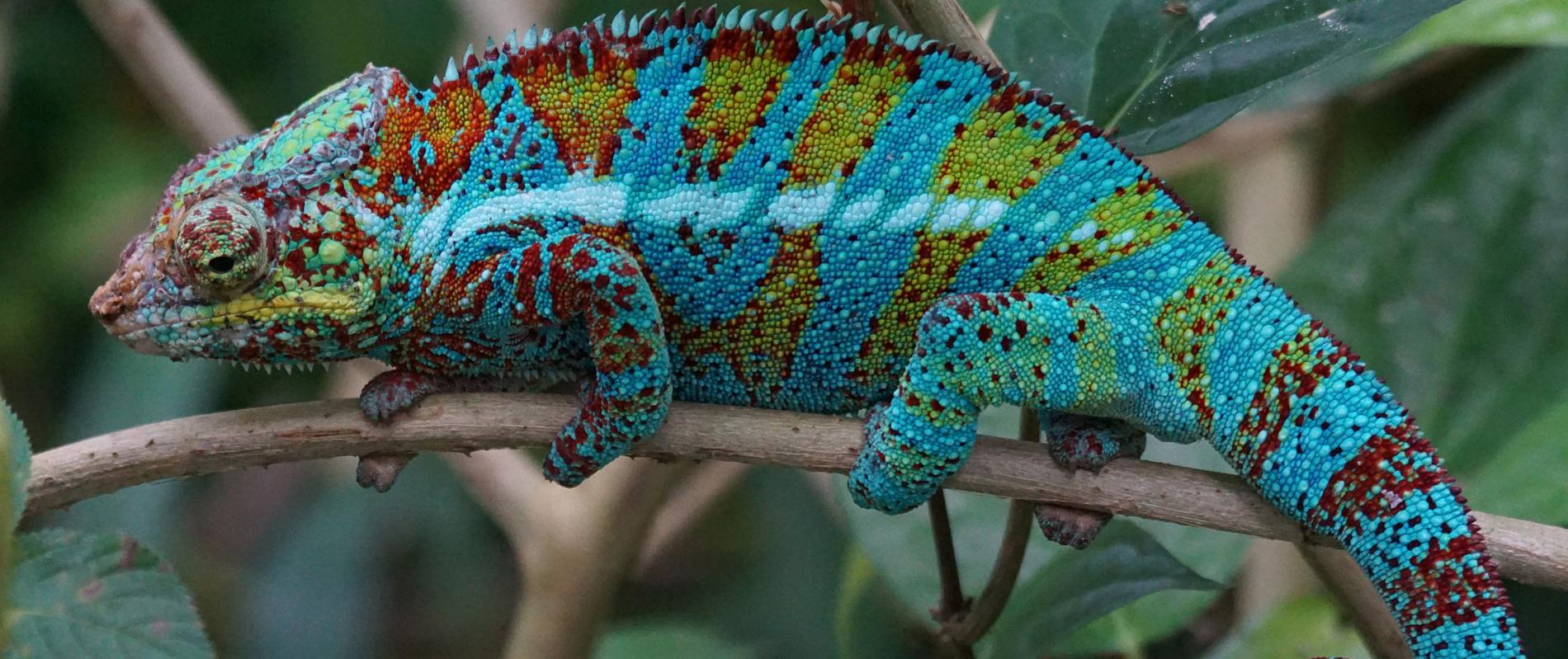 Lilasárkány